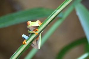Red Eyed Frog Iconic of Costa Rica